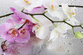 Pink and white beautiful orchids with drops — Stock Photo