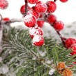Rowan berries with spruce covered with snow — Foto de Stock