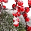 Rowan berries with spruce covered with snow — Stock fotografie