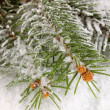 Spruce covered with snow — Stock fotografie