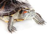 白で隔離される赤耳カメ — ストック写真