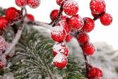 Las bayas de serbal con abeto cubren de nieve — Foto de Stock