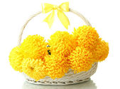 Bright yellow chrysanthemums in basket, isolated on white — Stock Photo
