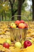Pail of fresh ripe apples in garden on autumn leaves — Stock Photo