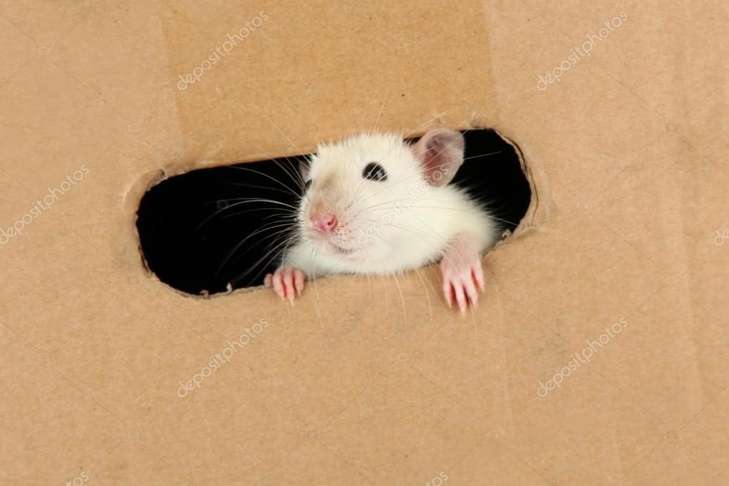 Funny little rat on paper background  Stock Photo #16271597