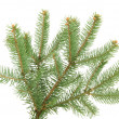 Fir tree branch, isolated on white - Foto Stock