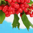 Branch of ripe viburnum on sky background close-up — Stock Photo #16325561