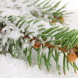 Spruce covered with snow — Stock Photo #16326705
