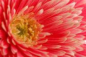 Gerbera piękny kwiat, makro — Zdjęcie stockowe