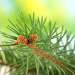 Fir tree branch, on green background — Stock Photo #16772387