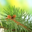 Fir tree branch, on green background - Stock Photo