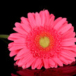Royalty-Free Stock Photo: Beautiful pink gerbera with drops isolated on black