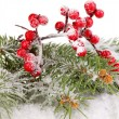 Rowan berries with spruce covered with snow isolated on white — Stock Photo