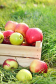 Crate of fresh ripe apples in garden on green grass — Stock Photo