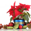 Beautiful poinsettia with christmas balls isolated on white — Stock Photo
