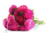Rosa aster blommor, isolerad på vit — Stockfoto