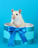 Funny little rat in gift box, on blue background — Stock Photo