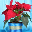 Beautiful poinsettia on blue fabric background — Stock Photo