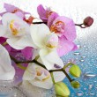 Pink and white beautiful orchids with drops on blue background — Stock Photo