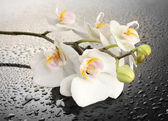 White beautiful orchid with drops on grey background — Stock Photo