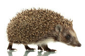 Hedgehog, isolated on white — Stok fotoğraf