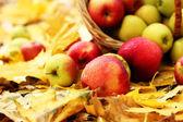 Korb mit frischen reifen äpfeln im garten herbstlaub — Stockfoto
