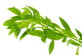 Branch with green leaves, isolated on white — Stock Photo