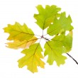 Twig of oak with autumn yellow leaves, isolated on white — Stock Photo