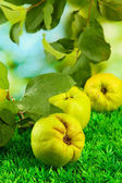 Sweet quinces with leaves, on grass, on green background — Stock Photo