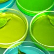 Stock Photo: Genetically modified leaves tested in petri dishes, on grey background