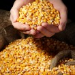 Man hands with grain, on yellow corn background - Stock Photo