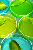 Genetically modified leaves tested in petri dishes, on grey background — Stock Photo