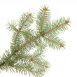 Fir tree branch, isolated on white — Stock Photo