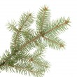Fir tree branch, isolated on white — Stockfoto