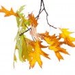 Twig of oak with autumn yellow leaves, isolated on white — Stock Photo #18106057