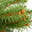 Fir tree branch, isolated on white - Foto de Stock