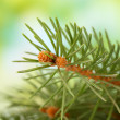 Fir tree branch, on green background — Stock Photo #18106161