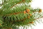 Jedle větev stromu, izolované na bílém — Stock fotografie
