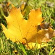 Beautiful autumn maple leaf on green grass, close up — Stock Photo #18132747
