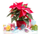 Beautiful poinsettia with christmas balls and presents isolated on white — Stock Photo