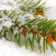 Spruce covered with snow — Stock Photo #18274841