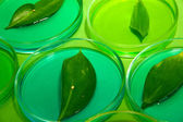 Genetically modified leaves tested in petri dishes, on green background — Stock Photo