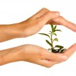 Woman's hands are holding a money tree on white background close-up — Stock Photo #18292201