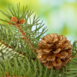 Cone on fir tree, on green background — Stock Photo