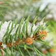 Fir tree branch with snow, close up — Stock Photo #18293265