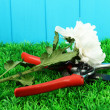 Secateurs with flower on grass on fence background — Stock Photo