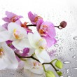 Pink and white beautiful orchids with drops - Stock Photo