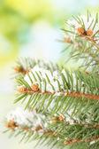 杉木树分支与雪,绿色背景 — 图库照片