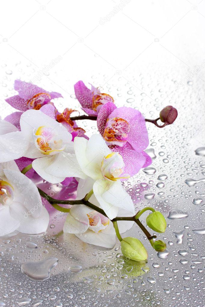 rosa und wei e sch ne orchideen mit tropfen stockfoto 18293585. Black Bedroom Furniture Sets. Home Design Ideas