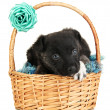 Stock Photo: Cute puppy in basket isolated on white
